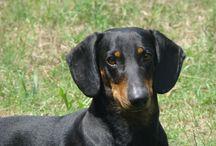 Bassotti ....doxie ...dutchshund
