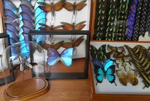 Butterflies taxidermy / All the mounted butterflies that we offer come from butterfly farms in South America, Africa and Asia.