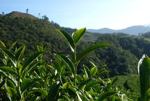 名池茶業 Ming-Chi Tea Industry / 1981年創業の台湾製茶会社。Taiwan tea company established in 1981.