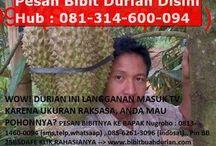 pohon durian pendek