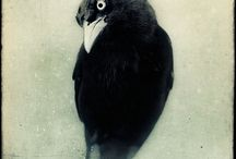 Crows / by Angelique Piercy