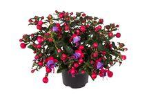 Bella Fuchsia varieties / #Bella #Fuchsia #garden #plant #flowers