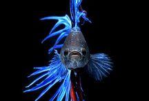 töhötömök(avagy sziámi harcoshalak)