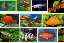 Ikan Hias Kecil Tahan Lama
