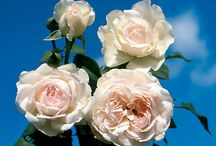 My Favourite roses