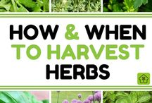 When to plant Herbs