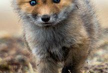 les renard