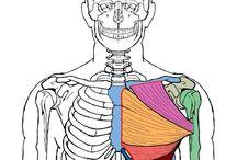 Anatomy - Torso: Pectoralis