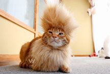 Ginger cat brings back mohawk hairstyle