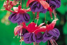 Küpe çiçegi orkide