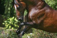 Horses, cavalos