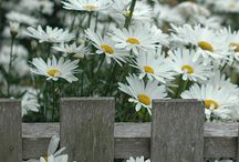 "daisies ""the friendliest flowers"""