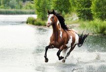 Paint/pinto horses