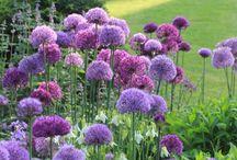 kukkiva puutarha/garden