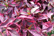 Foilage Beauty is Nonstop / To me the beauty of foliage often out weighs the flowers on plants. Beautiful foliage can be found in the Sun or shade. Often the combination of different foliages can create a stunning looking container. / by Viola Nursery and Greenhouse