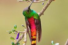 Red-tailed Comet : Sappho sparganurus