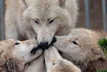 Spirit of Wolves / The lovely beautiful nature of wolves seen through the lens of a camera