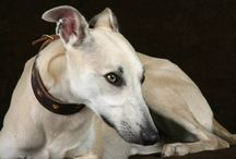 Whippets, Lurchers & Greyhounds
