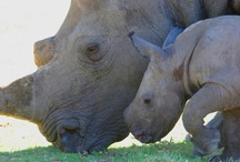 Celebrating Rhinos / A board dedicated to saving and celebrating the African Rhino