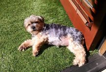 Pet Turf / Create a lawn that can stand up to daily abuse from household pets.  Water Wise Grass 7728 Clairemont Mesa Blvd. San Diego, CA 92111 US (858) 384-4502 http://www.WaterWiseGrass.com/