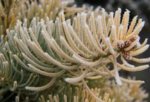 Winter Wonders / Showcasing of the graceful beauty of conifers when everything else has gone to sleep.