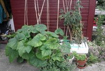 My Vegetable garden / Only pic from my own garden i Denmark.