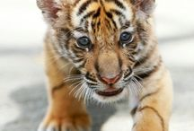 Grrrrr Beautiful Tigers!