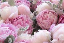 flower blooms peonies