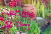Summerford Cottage / Primula  and Astilbes for area near house which is very wet.Please note they flowers at different times of year.
