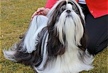 Pumilo Shih-tzu Kennel / Our kennel is registered with the Polish Kennel Club (since 10.04.2001, reg. no. 2959/P) and with FCI (754/07)