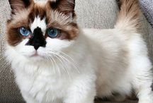 Dwarf kitten