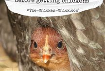 chickens / by Megan Roberts