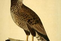 Eleazar Albin - A natural history of birds (1731-1738)