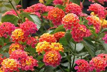 Z.kvety druhy