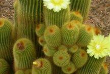 Kaktus, die zart süße Blüten