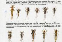 larwy jętki
