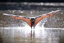 Grey Headed Flying Fox / We have these ginats visit our pear tree each January, I love them.