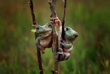 Frog カエル