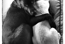 Our dogs / Here you will find pictures/photos off our dogs: luka and Sem. A brown and blond labrador.