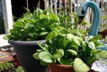 Jardinería, Aprende a cultivar espinacas en maceta