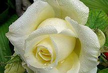 LIEBLINGSBLUMEN / Rosen. Kakteen, Succulents, Bromelien