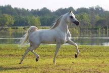 Arabian Horses.