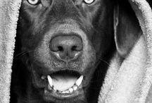 Labrador / Labrador retriever
