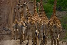 Giraffes / by Nancy Tait