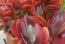 Kalanchoe / Kalanchoe is a genus of about 125 species of tropical, succulent flowering plants in the family Crassulaceae, mainly native to the Old World.