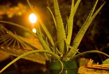 Plantas para tratar el cáncer / Todas las fotos sobre plantas que ayudan a curar el cáncer y mejorar los síntomas en este tablero.