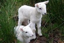 Spring lambs, new born