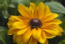 RUDBECKIA / Varieties and Colours