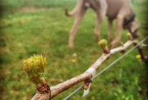 Kristinus vineyard in spring