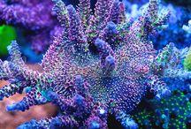 Corals SPS